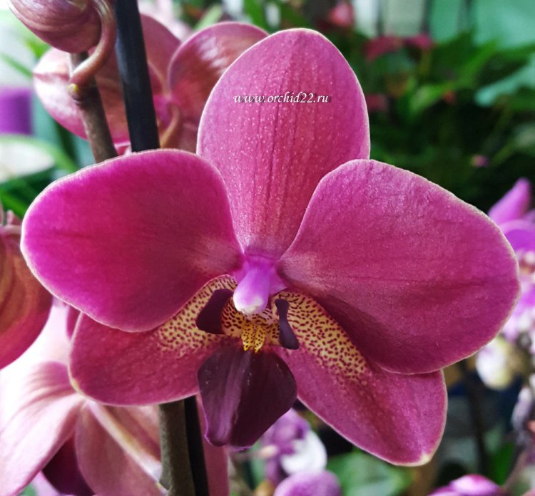 Орхидея Phalaenopsis Diamond King (отцвёл)