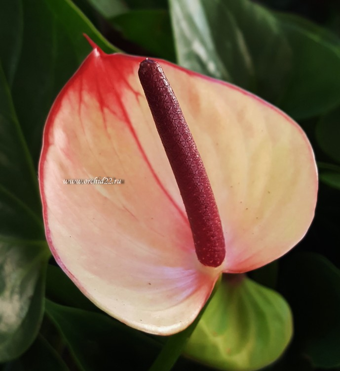 Anthurium Princess Amalia Sweet Lips