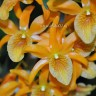 Орхидея Dendrobium Stardust Orange (отцвел, деленка)
