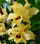 Орхидея Dendrobium nobile yellow 'Dark Eye'