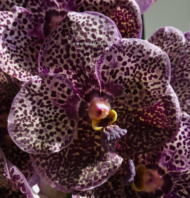 Орхидея Vanda Black Beauty (отцвела)