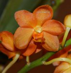 Орхидея Vandachostylis Orange (ещё не цвёл)