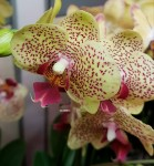 Орхидея Phalaenopsis Fancy Freckles (отцвел)