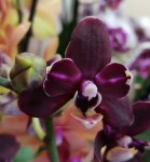 Орхидея Phalaenopsis Black, mini