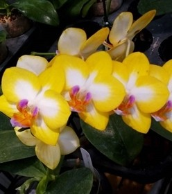 Орхидея Phalaenopsis Yen Shuai Sweet Girl Shiny Girl (еще не цвел)