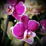 Орхидея Phalaenopsis mini (отцвел)