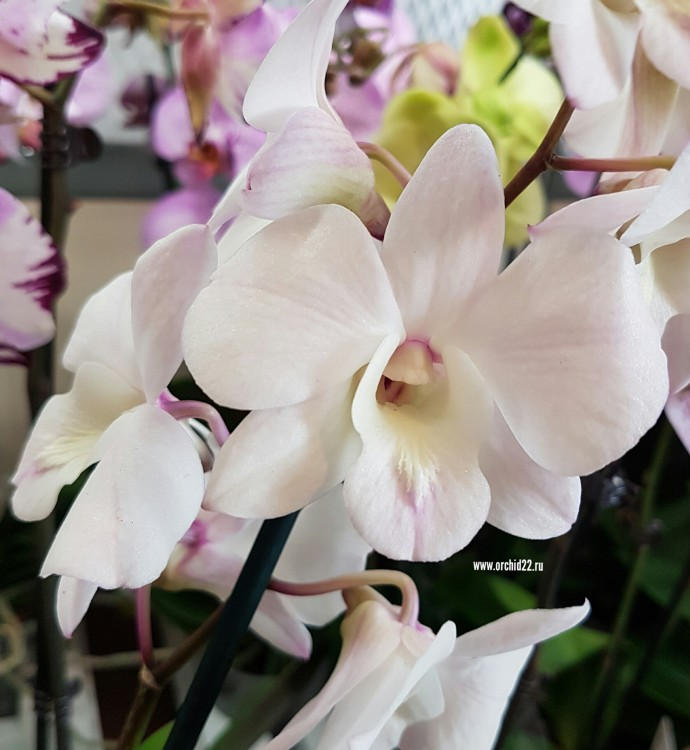 Орхидея Dendrobium Coconut Dream (еще не цвел)