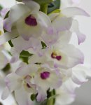 Орхидея Dendrobium nobile 'Winter Sparkle' (отцвёл)