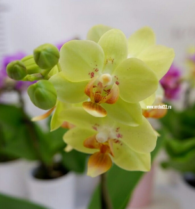 Орхидея Phalaenopsis Sunshine, mini