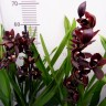 Орхидея Cymbidium Cali Night (отцвел)