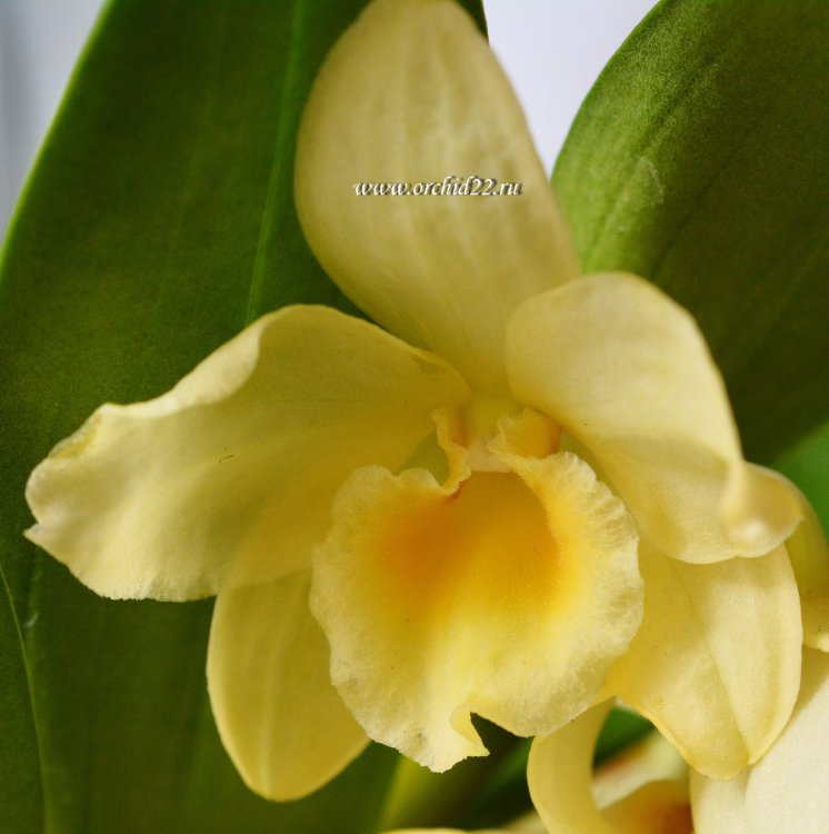 Орхидея Dendrobium nobile Yellow Song 'Canary' (отцвёл)