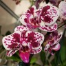 Орхидея Phalaenopsis mini