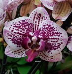 Орхидея Phalaenopsis Sogo Magic (отцвёл)