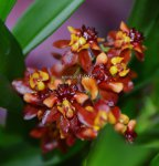 Орхидея Oncidium Twinkle Red Fire