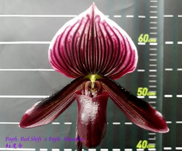 Орхидея Paph. Red Shift x Maudiae (отцвёл)