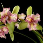 Орхидея Cymbidium Green Valley Emerald Tri Lips (еще не цвел)