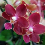 Орхидея Phalaenopsis Sogo Red Star