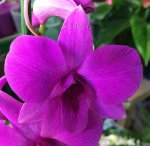 Орхидея Dendrobium Pink Party
