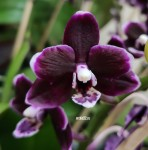Орхидея Phalaenopsis Nightfall, multiflora (отцвел)