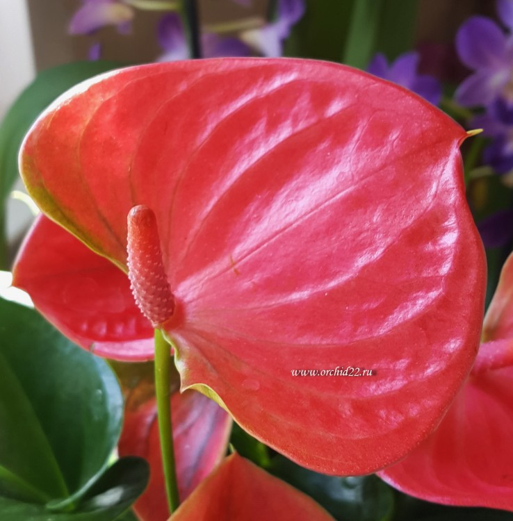 Anthurium Lady Love