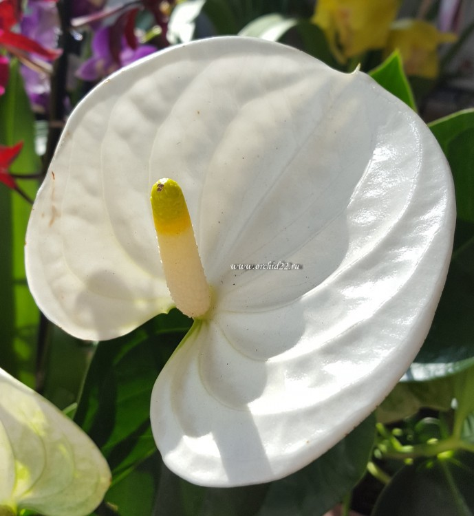 Anthurium Sierra White (деленка без цветов)