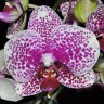 Орхидея Phalaenopsis Fancy (отцвёл)