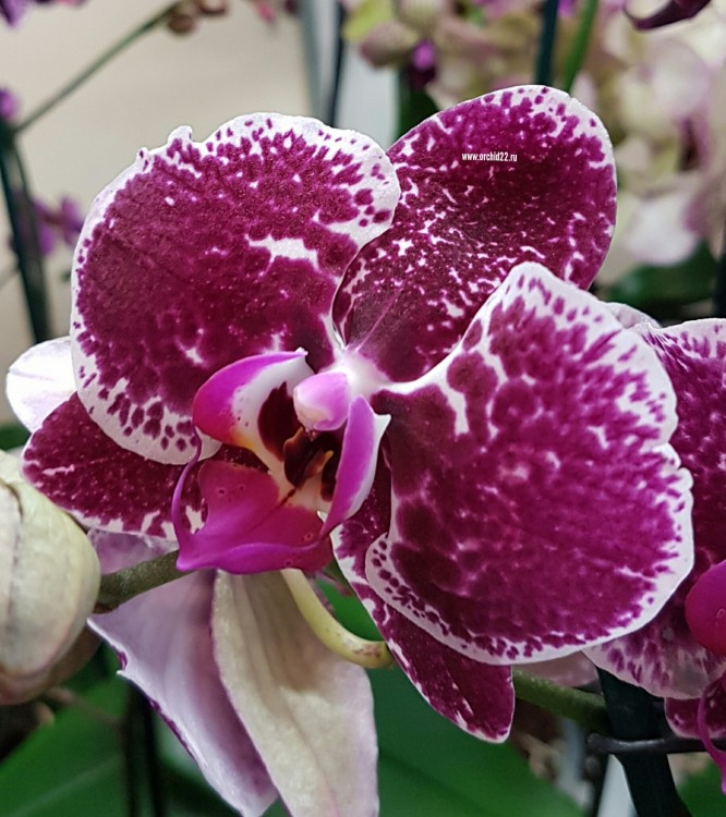 Орхидея Phalaenopsis Eduction (отцвел)