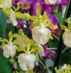 Орхидея Oncidium Pupukea Sunset alba
