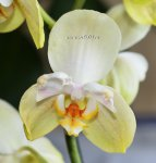Орхидея Phalaenopsis  Golden Jaguar