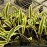 Орхидея Cattleya Moscombe variegata leaves (отцвела)