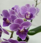 Орхидея Phalaenopsis Violet Queen, mini