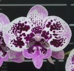 Орхидея Phalaenopsis Miki Dancer '14'