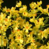 Орхидея Oncidium Twinkle Yellow Fantasy