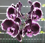 Орхидея Phalaenopsis Summer Breath (еще не цвел)