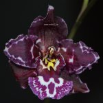 Орхидея Odontoglossum Margaret Holm Black Beauty