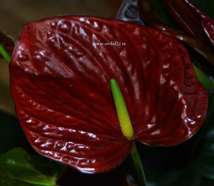 Anthurium Flamingo Brown