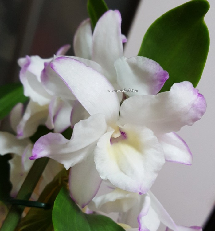 Орхидея Dendrobium nobile Sea Mary (отцвёл)
