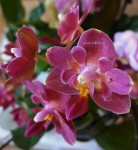 Орхидея Phalaenopsis Lianher Happy Star, mini (отцвёл)