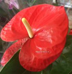 Anthurium Missouri