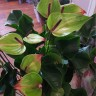 Anthurium Jaguar Green