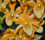 Орхидея Dendrobium Stardust Orange (отцвел)