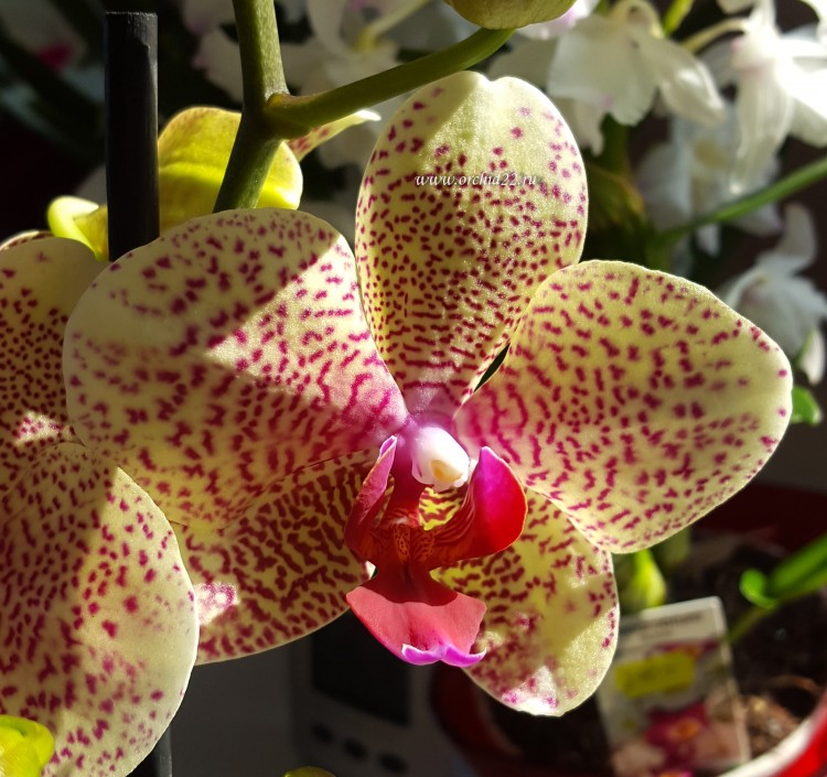 Орхидея Phalaenopsis  Mirraclion