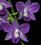 Орхидея Dendrobium Blue Happiness