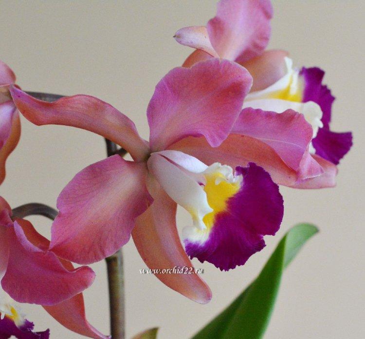 Отцвевшие Орхидеи Оптом