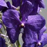 Орхидея Vanda Blue Beauty