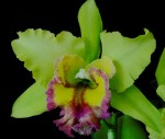 Орхидея Cattleya Lime with Red lip (сеянец)