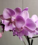 Орхидея Phalaenopsis Big Lip, multiflora (отцвел)