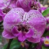 Орхидея Phalaenopsis Big Lip