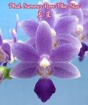 Орхидея Phalaenopsis Summer Rose 'Blue star' (еще не цвел)