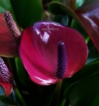 Anthurium Princess Amalia Purple (отцвел)